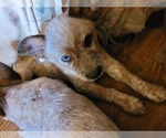 Puppy 3 Australian Cattle Dog