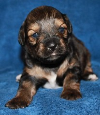 Lhasa-Poo Puppy For Sale in PLACERVILLE, CA