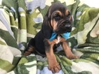 Bloodhound Puppy For Sale in EAST EARL, PA, USA