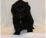 Puppy 7 Golden Newfie