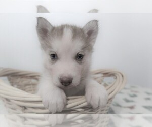 Siberian Husky Puppy for sale in FORT WAYNE, IN, USA