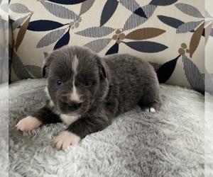 Australian Shepherd Puppy for Sale in CURLEW, Iowa USA