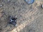 Australian Cattle Dog Dog For Adoption in GOLDSBORO, NC