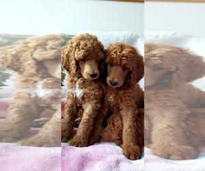 Poodle (Standard) Puppy for Sale in SEATTLE, Washington USA
