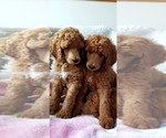 Poodle (Standard) Puppy For Sale in SEATTLE, WA, USA