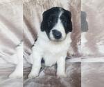 Puppy 2 Aussiedoodle