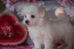 Maltese Puppy For Sale in KENT, OH, USA