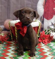 Labrador Retriever Puppy For Sale in CHICAGO, IL
