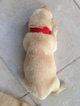 Labrador Retriever Puppy For Sale in WINTER GARDEN, FL, USA