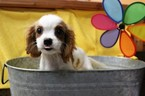 Cavalier King Charles Spaniel Puppy For Sale in MURRIETA, CA, USA