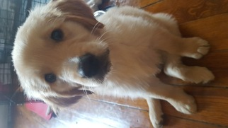 Golden Retriever Puppy for sale in QUINCY, MA, USA