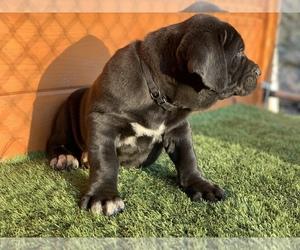 Cane Corso Puppy for Sale in NARVON, Pennsylvania USA
