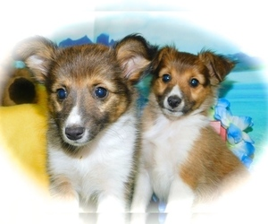 Rat Terrier-Shetland Sheepdog Mix Puppy for Sale in HAMMOND, Indiana USA