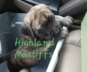 Mastiff Puppy for sale in CUTLER, IN, USA
