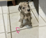 Puppy 4 Great Dane