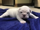 English Bulldogge Puppy For Sale in FLOWER MOUND, TX, USA