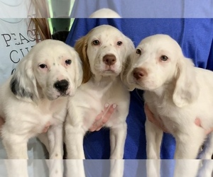 English Setter Puppy for Sale in EDMOND, Oklahoma USA