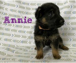 German Shepherd Dog Puppy for sale in DUENWEG, MO, USA