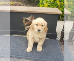 Golden Retriever Puppy for sale in BALTIMORE, MD, USA