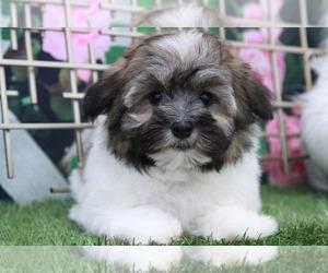 Corkie Puppy for sale in MARIETTA, GA, USA