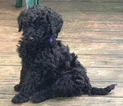 Poodle (Standard) Puppy For Sale in WINDSOR, Connecticut,