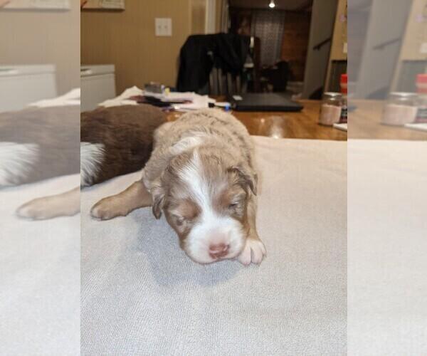 Medium Photo #2 Australian Shepherd Puppy For Sale in NIANGUA, MO, USA