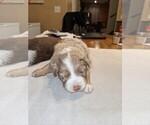 Small Photo #2 Australian Shepherd Puppy For Sale in NIANGUA, MO, USA