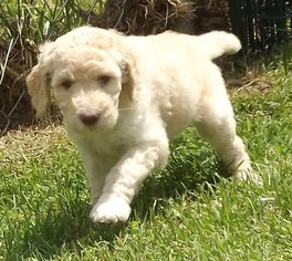 View Ad Poodle Standard Litter Of Puppies For Sale Near West