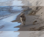Small Photo #3 Labrador Retriever Puppy For Sale in FRUITPORT, MI, USA