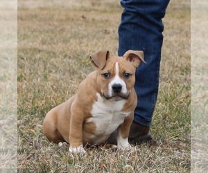 American Bully Puppy for Sale in BILLINGS, Missouri USA