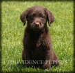 Labradoodle Puppy For Sale in WAYLAND, Iowa,