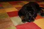 Hovawart Puppy For Sale in WASHINGTON, DC