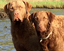 Chesapeake Bay Retriever Puppy For Sale in EGG HARBOR CITY, NJ
