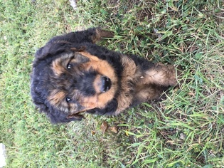 Airedale Terrier Puppy For Sale in PERRYVILLE, MO, USA