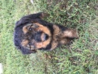 10 Airedale Terrier puppies