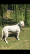Dogo Argentino Puppy For Sale in MINTER CITY, MS