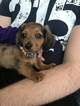 Dachshund Puppy For Sale in CONWAY, SC, USA