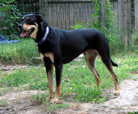 Sammie - Rottweiler / Labrador Retriever / Mixed (short coat) Dog For Adoption