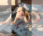 Small #5 American Bulldog