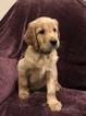 Golden Irish Puppy For Sale in NEWARK, TX, USA