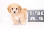 Cavapoo Puppy For Sale in NAPLES, FL