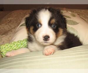 Australian Shepherd Puppy for Sale in HERNANDO, Mississippi USA