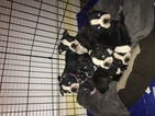 Boston Terrier Puppy For Sale near 91406, Van Nuys, CA, USA