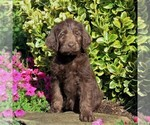 Small Photo #1 Labradoodle Puppy For Sale in NEW PROVIDENCE, PA, USA