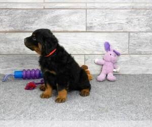 Rottweiler Puppy for Sale in OGDEN, Utah USA