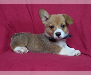Pembroke Welsh Corgi Dog for Adoption in CHRISTIANA, Pennsylvania USA