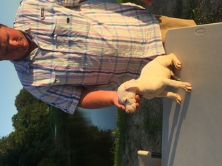 Dogo Argentino Puppy For Sale in MINTER CITY, MS, USA