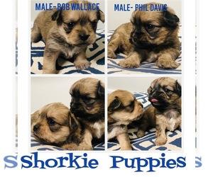 Shorkie Tzu Puppy for sale in FRANKLIN, TN, USA