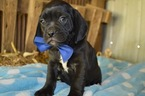 Puggle Puppy For Sale in HONEY BROOK, PA, USA