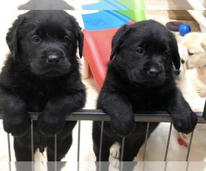 Labrador Retriever-Unknown Mix Puppy for sale in BRENTWOOD, NC, USA